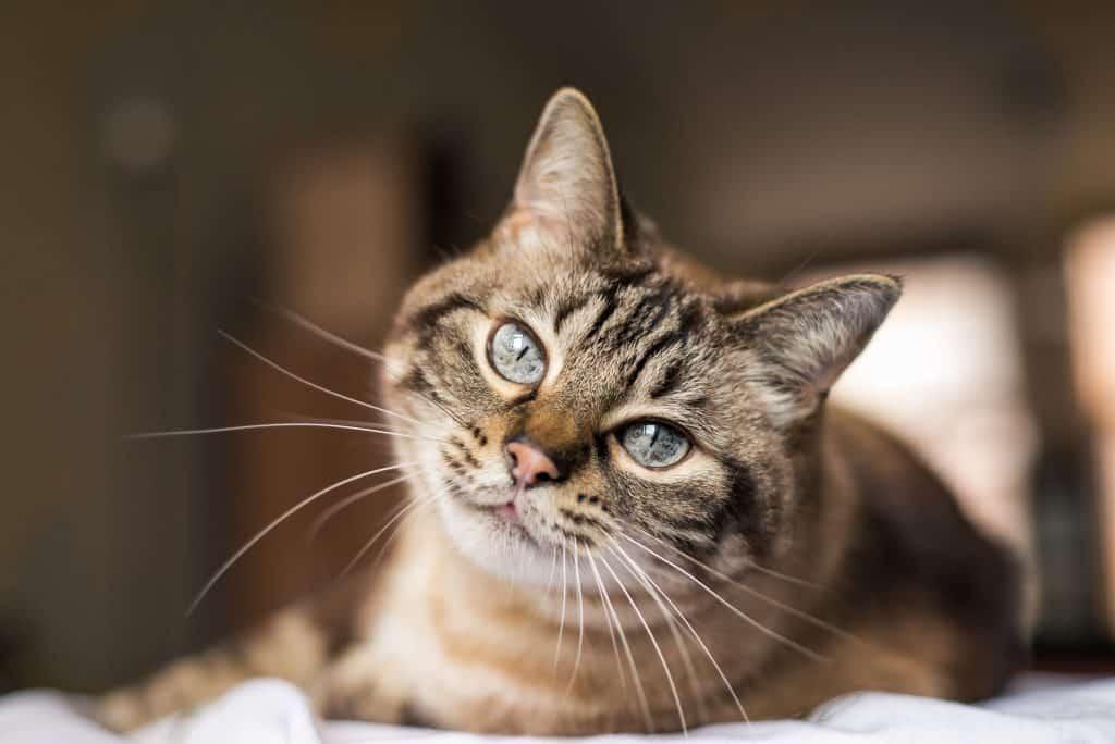 Kat op bank toont scherpe ogen