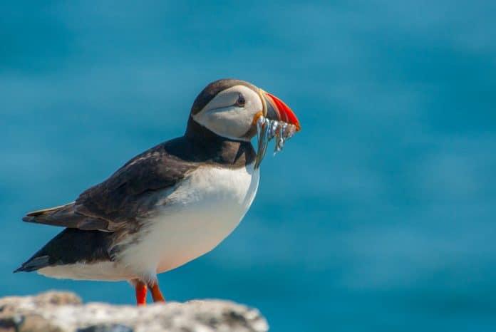 Papegaaiduiker Farne Islands