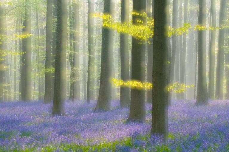 Het Hallerbos: Het blauwe sprookjesbos van België
