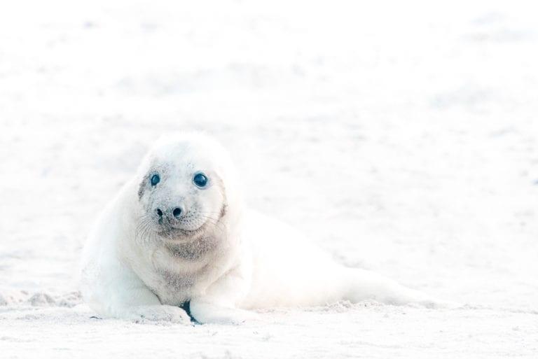 Zeehonden fotograferen op de Helgoland eilanden