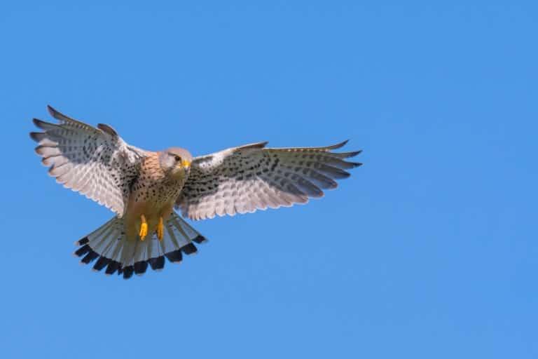 Roofvogels fotograferen: Heersers van het luchtruim
