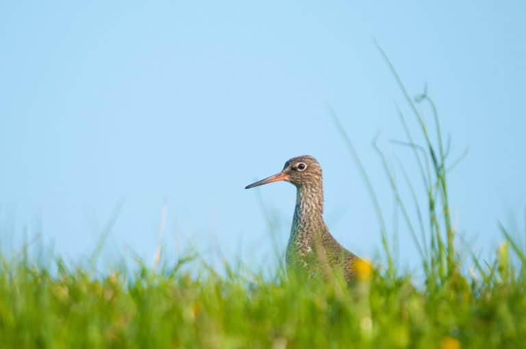 Weidevogels fotograferen