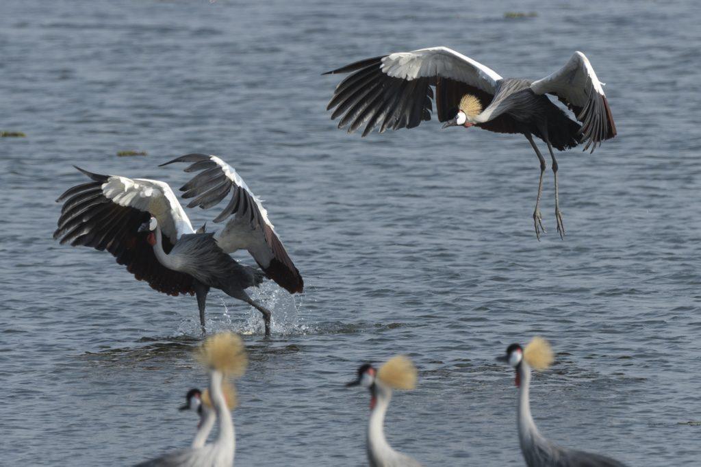grijze kroonkraanvogels